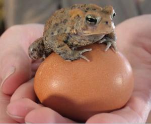 Ropucha na vejci